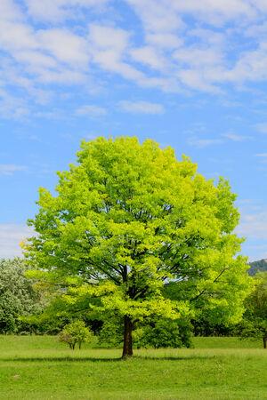 quercus: Oak with juvenile foliage - Quercus Stock Photo