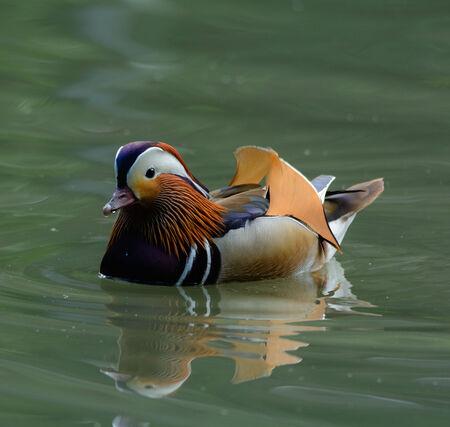 aix galericulata: Mandarin Duck - Aix galericulata  Stock Photo