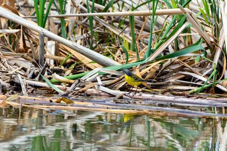 cinerea: Grey Wagtail in a swamp - Motacilla cinerea