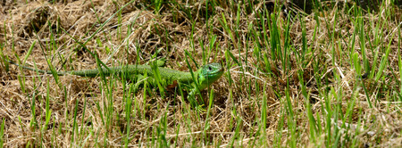 lacertidae: Green lizard