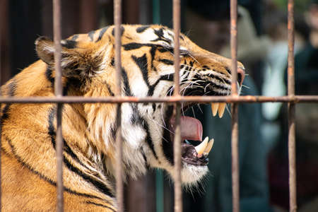 Tiger in cage who loses freedom and can't move anywhere
