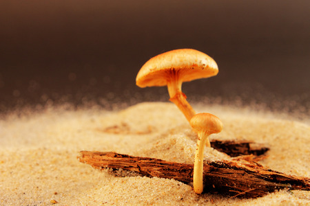 Two mushrooms on a tree bark in the sand, close-up photographed in study.