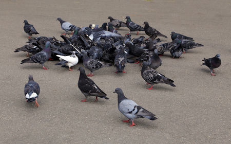 A flock of pigeons eating on the street. Stock Photo
