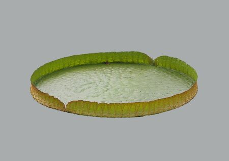 The leaf of the Lily on isolated background