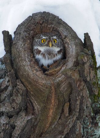 A forest owl peeps out of a tree hollow