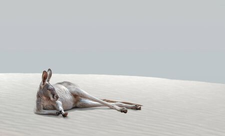 The kangaroo animal, exhausted from the heat, lies on the hot sand.
