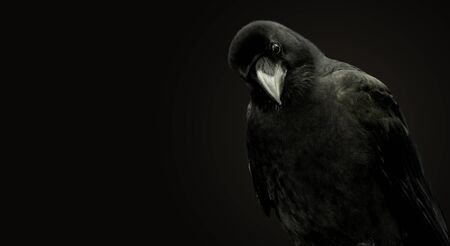 Portrait of a raven bird on a black background. Reklamní fotografie