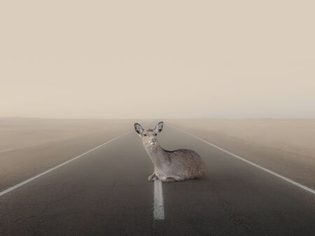 A young deer lies on an empty dusty road.
