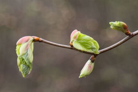 Young green leaves of a hazel tree, in early spring. Reklamní fotografie