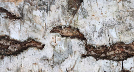 The texture of the bark of a birch tree.