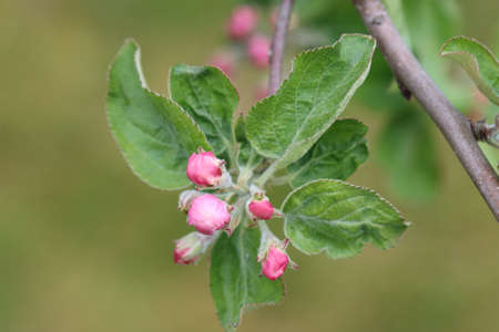 Unopened flower buds of apple trees in spring. Reklamní fotografie