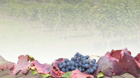 Growing grapes for winemaking. Background image for design. Reklamní fotografie