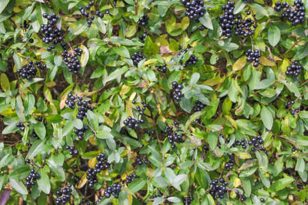 Ornamental shrub with green leaves and black fruits.