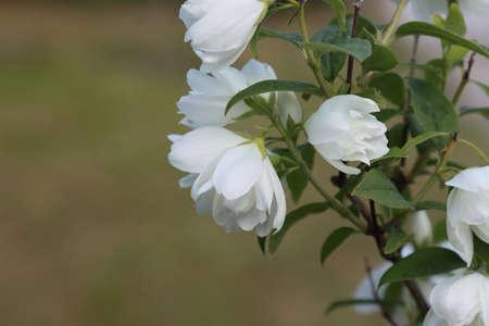 Blooming jasmine bush in the summer garden.