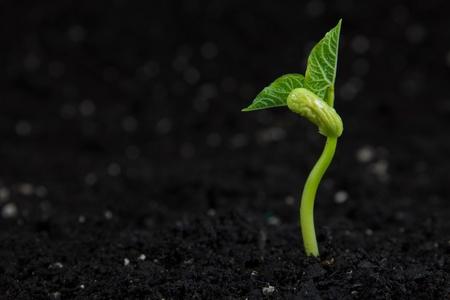 Una pequeña planta de frijol en crecimiento. Foto de archivo