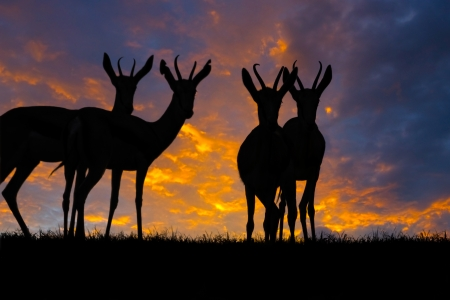 Springbok antelope  Antidorcas marsupialis  silhouetted against a sunset  photo