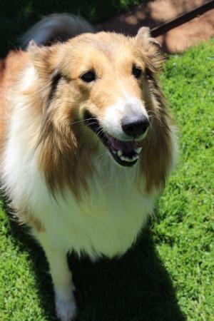 lassie: Lassie Dog
