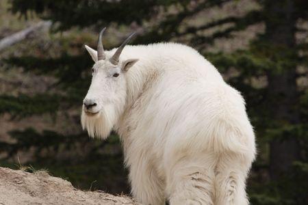 Mountain goat.