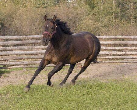 Horse running in corral. Reklamní fotografie