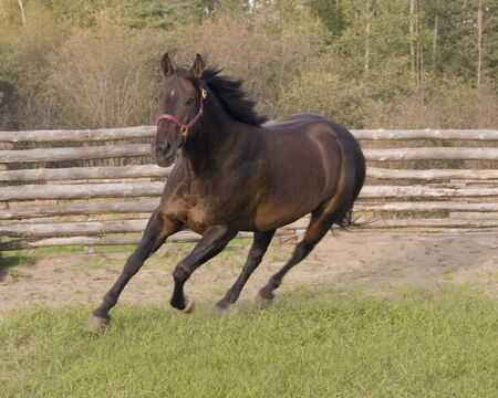 Horse running in corral. Stock Photo