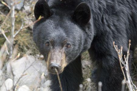 Black bear feeding in bush in Jasper National Park, Alberta.
