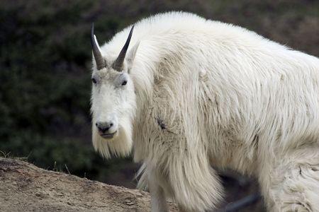 mount evans: Mountain goat shot in Yoho National Park, Alberta