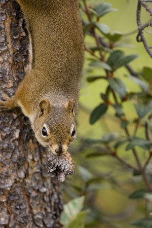 Squirrel on tree with pine cone in its mouth.