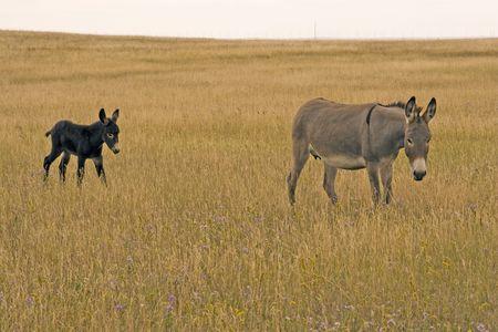 Donkey and colt on the Alberta prairie