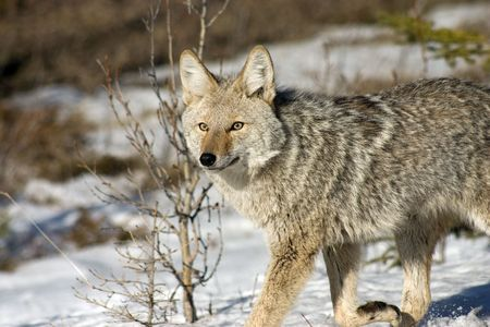 Coyote in snow.