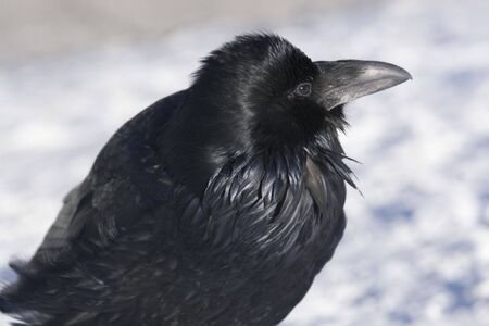 Raven in the snow, posing for the camera