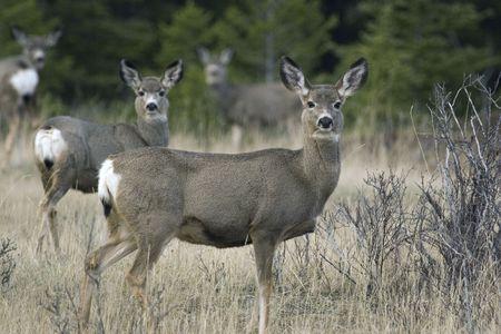 Attentive mule deer