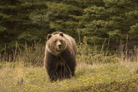 Large grizzly shot in Jasper National Park Banque d'images
