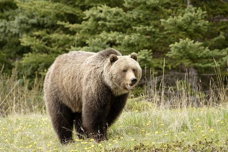 Large grizzly shot in Jasper National Park Stock Photo