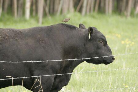 Bird riding on bulls back