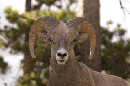 Sheep posing for the camera. photo