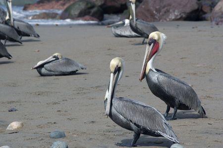 Brown pelican on water. Stock Photo