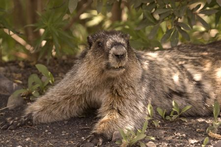 hoary: Hoary marmot resting in the bushes.