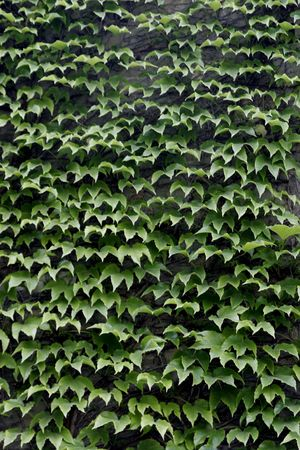 ivy wall: Wall of ivy.