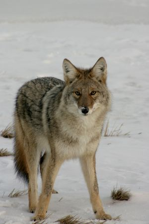 alertness: Coyote in the snow.