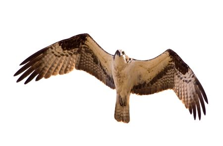 Osprey in flight. photo