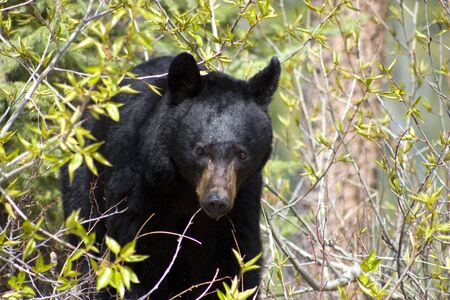 Black bear coming out of the bushes.