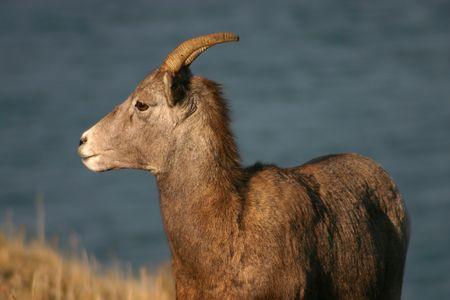 rocky mountain bighorn sheep: Young big horn sheep shot in the evening light. Stock Photo