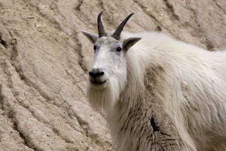 rock wool: Mountain goat staring at the camera.