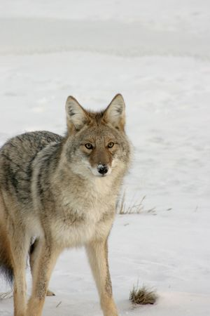 Coyote on the hunt in the winter snow. Stock Photo