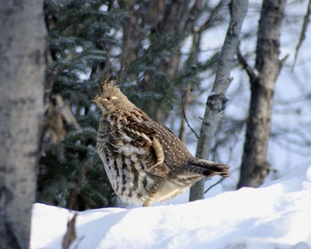 Ruffed grouse all fluffed up in the snow.