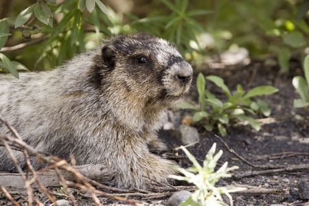 Young hoary marmot hiding in the bushes.
