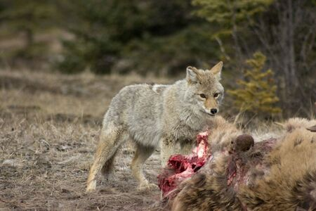 Coyote feeding on an elk that was killed by wolves over night.