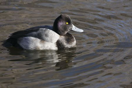 scaup: Not sure if its a lesser or a greater scaup. Shot in Alberta Canada