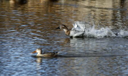 Duck working up speed for take off.