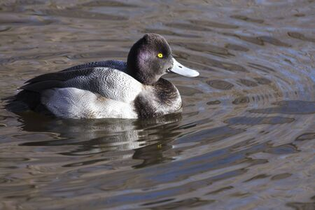scaup: duck (scaup) resting on a local pond